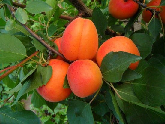 A kihagyhatatlan, életet hosszabító gyümölcs